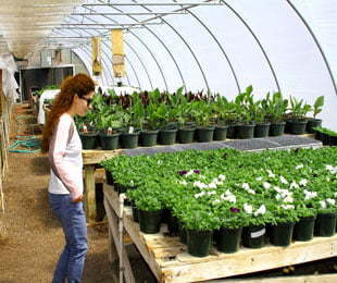 Bedding-plant-production-in-Griffith-and-Hillston
