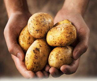 Potatoes-Picking-in-Griffith-and-Hillston